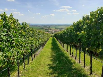 Wycieczka na wino na Morawy widok winnicy